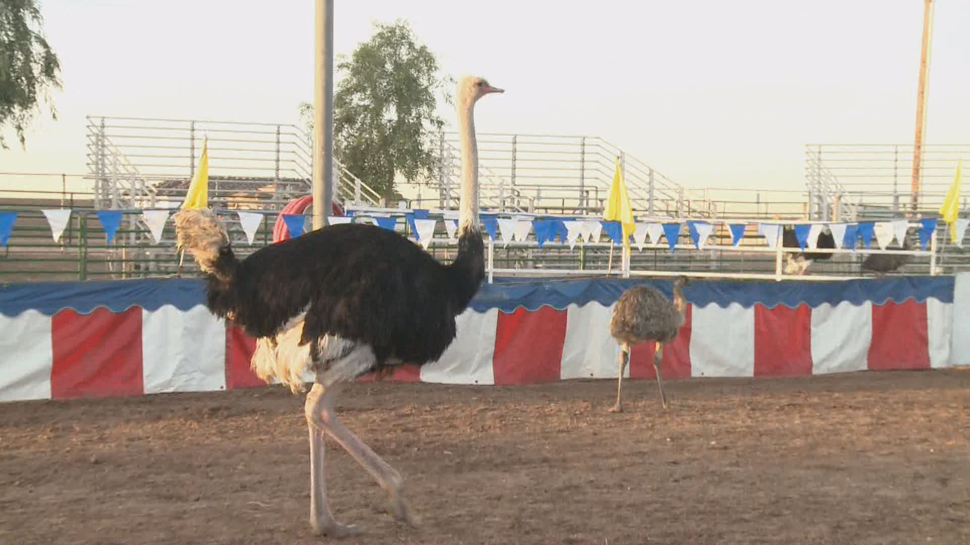12news.com | Chandler Ostrich Festival set for this weekend