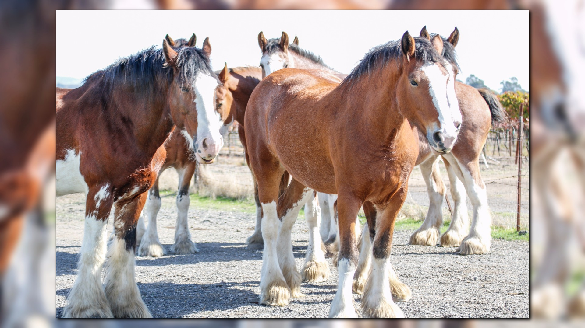 Clydesdales, Known for Budweiser Commercials, Are at Risk ...